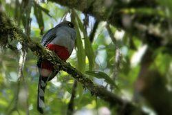 Papagayo o Trogón de la Hispaniola(Priotelus roseigaster)