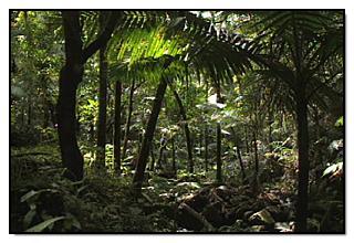 Manaclar en bosque pluvial