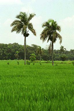 palma real dominicana en capo de arroz