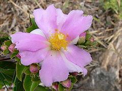 Flores de Pereskia grandiflora