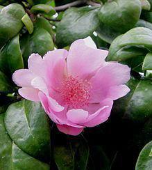 Flor de Pereskia quisqueyana, nuestra Flor nacional