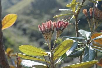 Flores de Salcedoa mirabaliarum