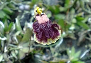 Flor de la Cacatica