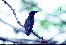 Zumbador (colibrí) grande