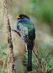 Papagayo de la Hispaniola