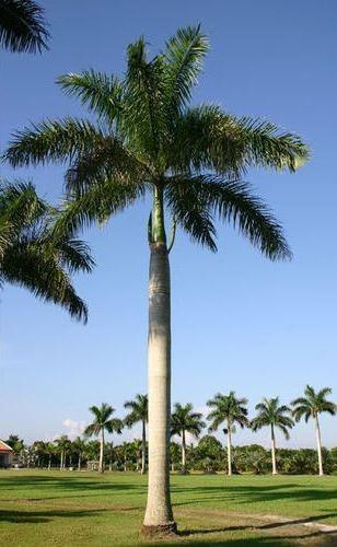 Palma real - Roystonea borinquena (R. hispaniolana).