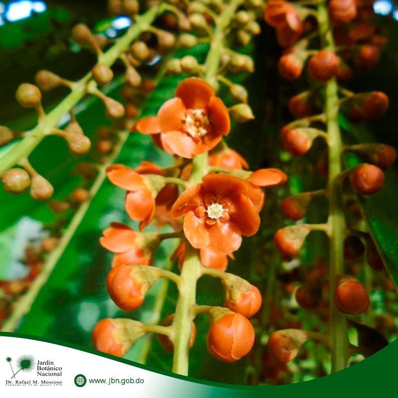 """Clavija domingensis Urb. & Ekman, comúnmente conocida como """"Lengua de buey"""","""