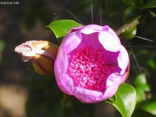 Flor masculina Pereskia marcanoi